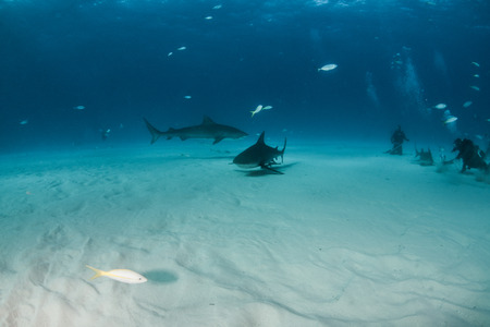 Picture shows a Bulls shark and a Tiger shark at the Bahamas