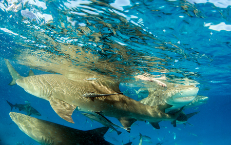 Picture shows a Lemon shark at the Bahamas Reklamní fotografie - 118981844