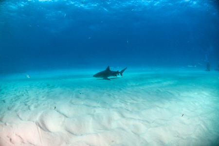 Picture shows a Bulls shark at the Bahamas Reklamní fotografie - 118981845