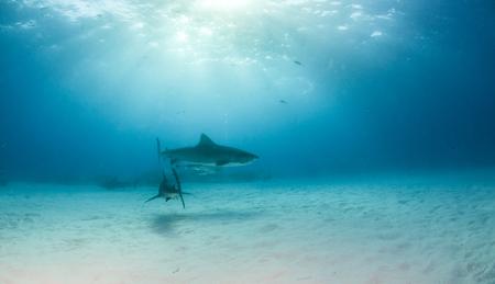 Picture shows a Tiger shark at Tigerbeach, Bahamas Reklamní fotografie - 118981846