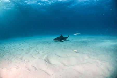 Picture shows a Bulls shark at the Bahamas Reklamní fotografie - 118981847