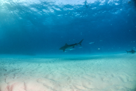 Picture shows a Tiger shark at Tigerbeach, Bahamas Reklamní fotografie - 118981849