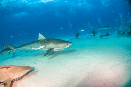 Picture shows a Tiger shark at Tigerbeach, Bahamas Reklamní fotografie - 118981850