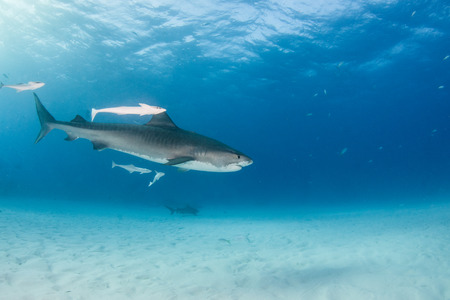 Picture shows a Tiger shark at Tigerbeach, Bahamas Reklamní fotografie - 118981853