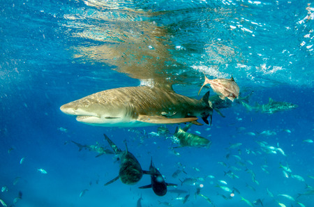 Picture shows a Lemon shark at the Bahamas Reklamní fotografie - 118981877