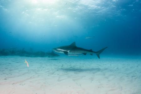 Picture shows a Tiger shark at Tigerbeach, Bahamas Reklamní fotografie - 118981889