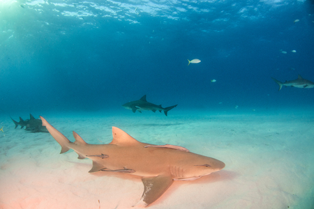 Picture shows a Lemon shark with a bull shark in the background at the Bahamas Reklamní fotografie