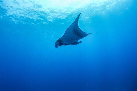 Picture shows a Manta Ray at Islas Revillagigedos, Mexico