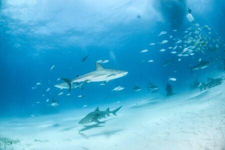 La photo montre des requins de récif des Caraïbes et des requins citron aux Bahamas Banque d'images