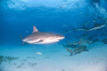 L'image montre un requin de récif des Caraïbes aux Bahamas