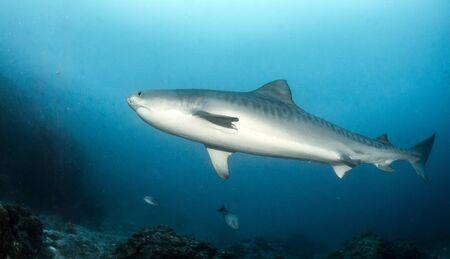L'image montre un requin tigre à Tigerbeach, Bahamas Banque d'images