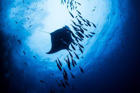 Das Bild zeigt einen Mantarochen auf den Islas Revillagigedos, Mexiko