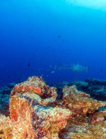 L'immagine mostra uno squalo martello a Cocos Island, Costa Rica