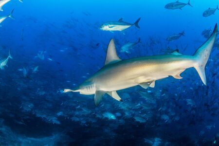 Picture shows a Hammerhead Shark at Cocos Island, Costa Rica