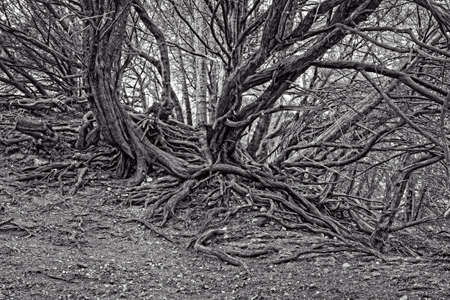 gnarled: Old twisted and gnarled tree roots