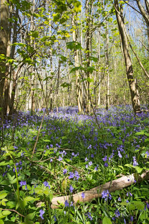 floor covering: Beautiful Bluebells covering a woodland floor