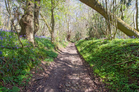 Footpath through a beautiful Bluebell wood photo