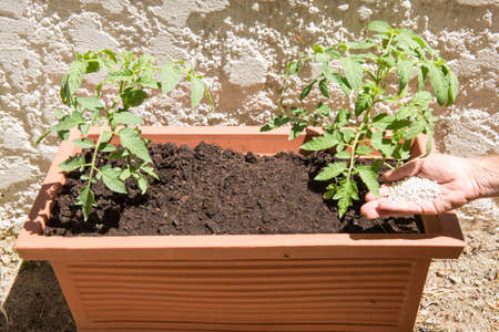 Feeding fertilizer to Tomato plants in a tub Stok Fotoğraf - 38289447