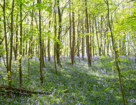 floor covering: Beautiful Bluebells covering a forest floor
