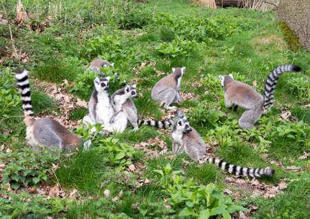 foraging: Group of seven adult lemurs foraging