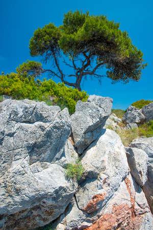 lone pine: Lone Pine �rbol que crece en un acantilado Foto de archivo