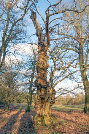 gnarled: Old gnarled Tree
