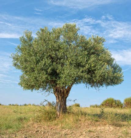 Eenzame Olijfboom groeien op een helling Stockfoto