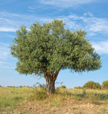 olive  tree: Lone Olive Tree growing on a hillside