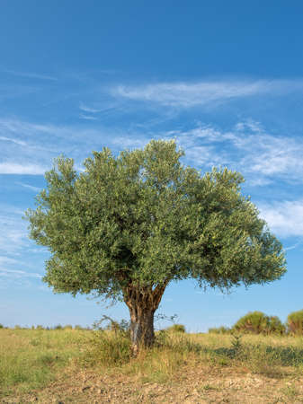 olivo arbol: Lone Oliva Árbol que crece en una ladera
