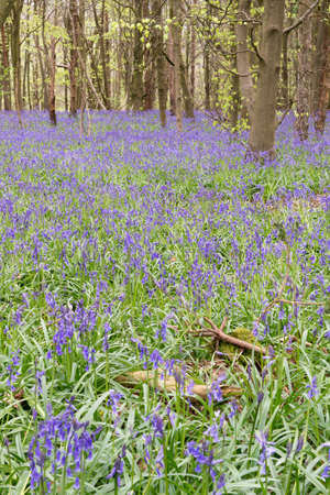 floor covering: Bluebells covering a forest floor