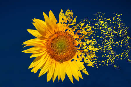 fragmented: Closeup of a Sunflower blowing away