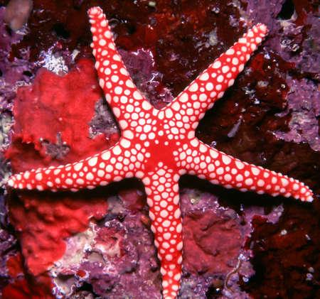 estrella de mar: Rojo y blanco Estrellas de mar en un arrecife de coral Foto de archivo