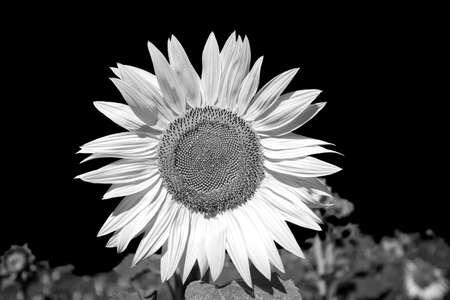 infra red: Closeup of a Sunflower in a field edited for an IR effect