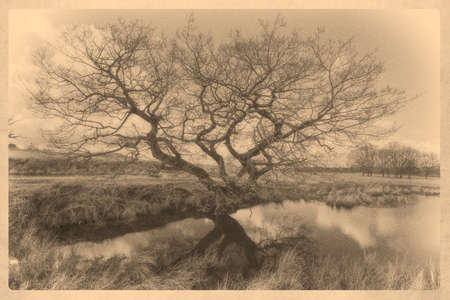 gnarled: Calotype image of an old gnarled tree by a pond