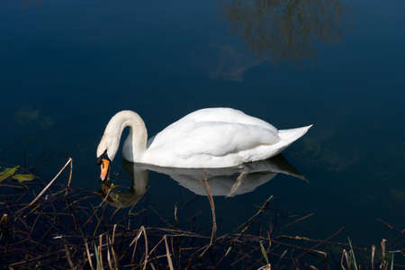 clear waters: Mute Swan reflected on the clear waters of a lake Stock Photo