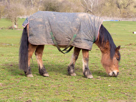 Horse wearing a horse blanket grazing in an open field