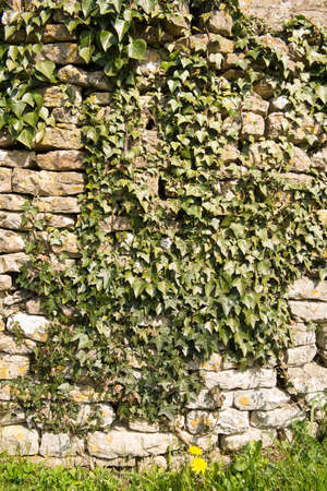 over grown: Old stone wall over grown with Ivy Stock Photo