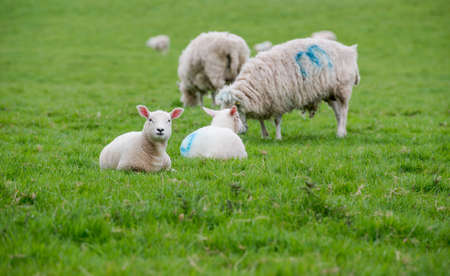 ruminants: Young Lambs sitting on the grass while the Ewes graze