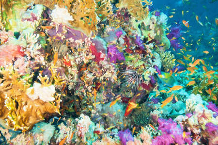 el sheikh: Colorful Coral Reef Stock Photo
