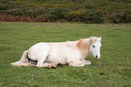 white horses: White horse relaxing laying on the grass in a field