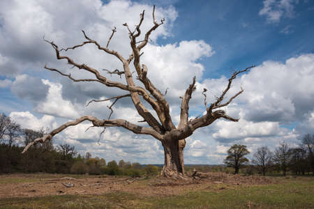 gnarled: Big gnarled dead tree stands alone in the countryside