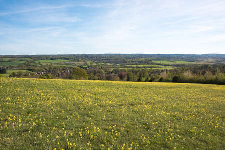 primula veris: Hillside of yellow flowers looking across the Kent countryside