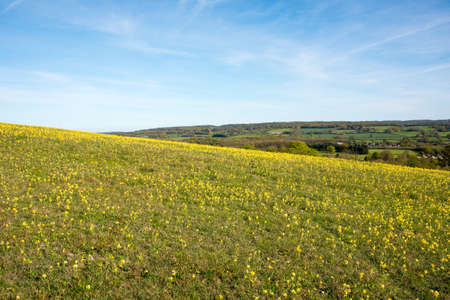 Hillside in the Kent countryside covered with Yellow Flowers Stock Photo