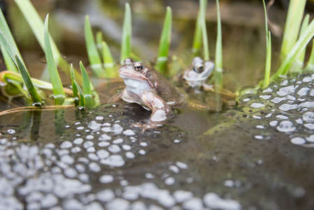 reproducing: Two Frogs in a pond laying Frogspawn. Stock Photo