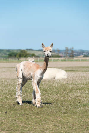 Skinny looking brown and white Alpaca after being shorn.
