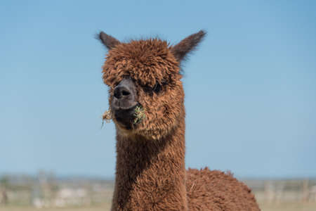 Funny looking Alpaca with a mouthful of grass.
