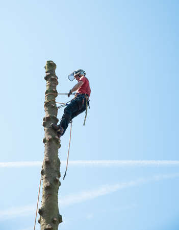 A tree Surgeon ropes himself at the top of a tall tree