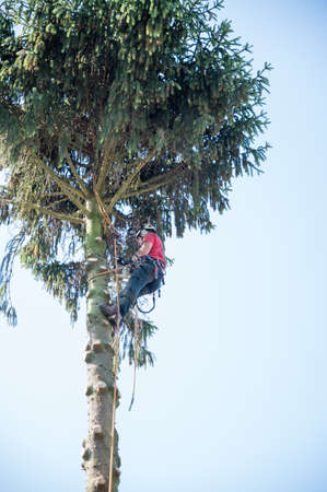 An Arborist weraing a safety harness cuts branches from a tall tree.