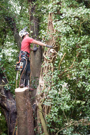 Male Tree Surgeon with a chainsaw assessing a tree for felling