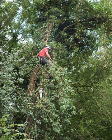 Male Arborist working  while roped to a tall tree.
